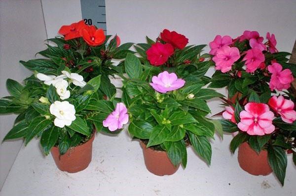 Многолетние комнатные растения