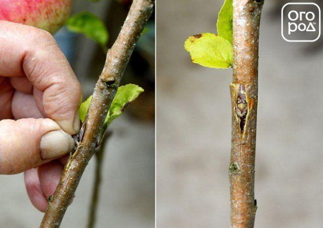 прививка дерева в т-образный разрез
