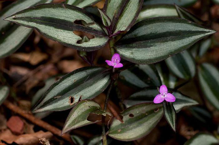 тенелюбивые вьющиеся растения для дома фото