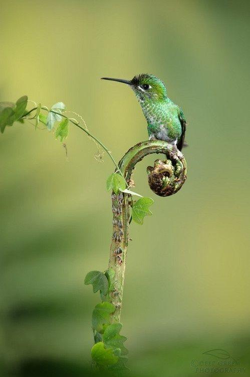 Колибри едят не только пыльцу, они не прочь полакомиться насекомыми, правда им приходится следить за тем, чтобы не подавиться, т.к. горлышко у птичек очень маленькое интересное, колибри, природа, птицы, факты, фауна