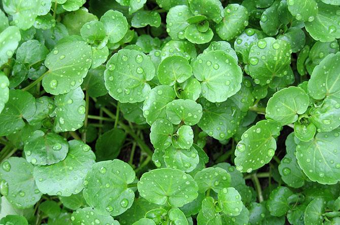 8 съедобных диких растений