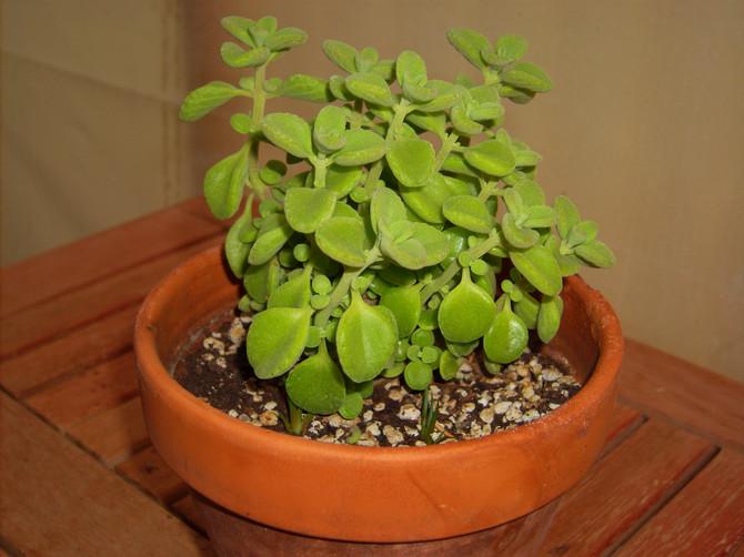 Грунтовая смесь для выращивания плектрантуса не должна быть слишком плотной.