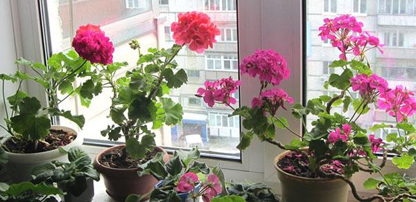 Цветет герань разных сортов