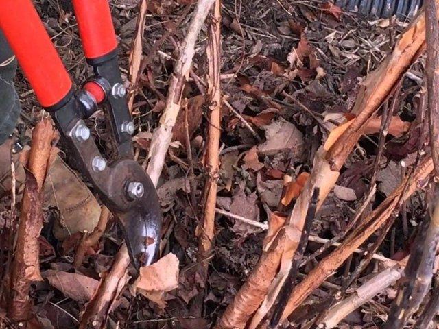 Когда нужно обрезать пионы на зиму