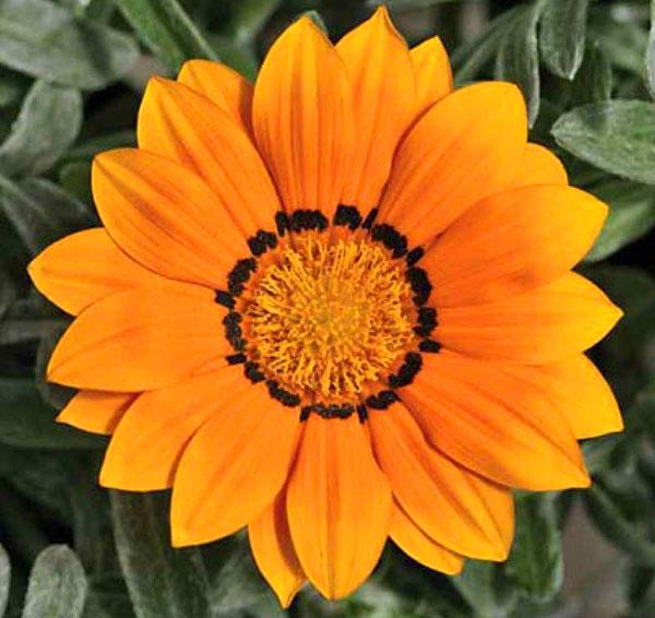 нежно-оранжевый цветок