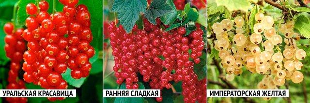 красная смородина Уральская красавица, Ранняя сладкая, Императорская желтая