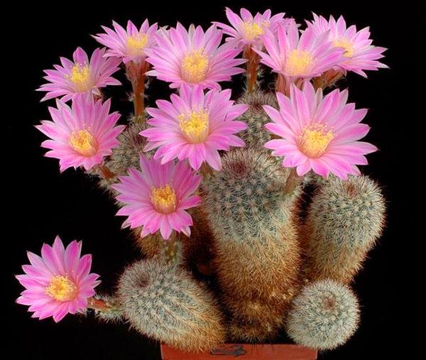 цветущий кактус эхиноцереус