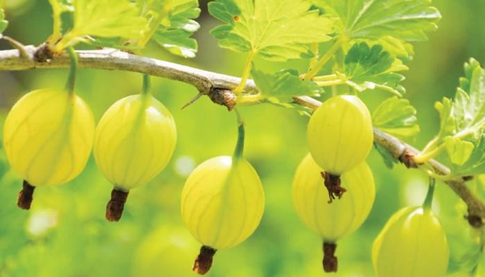 Какие ягоды самые полезные? Крыжовник входит в рейтинг
