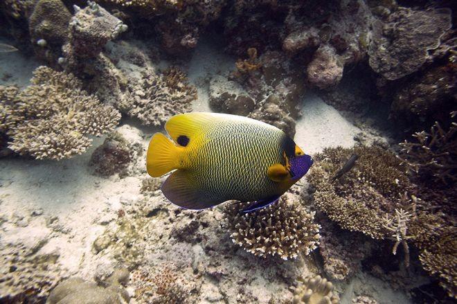 2. Ангел синеголовый животный мир, море, природа, путешествия, рыбки