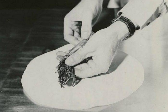 Научный факт о лягушачем тесте на беременность.