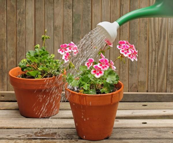 Выращивание герани в домашних условиях