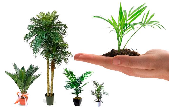 как ухаживать за бамбуковой пальмой в домашних условиях фото