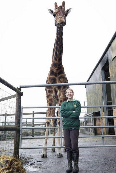 Самый-самый высокий в мире жираф в неволе.