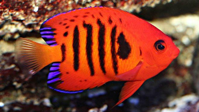 6. Центропиг или Огненный ангел животный мир, море, природа, путешествия, рыбки