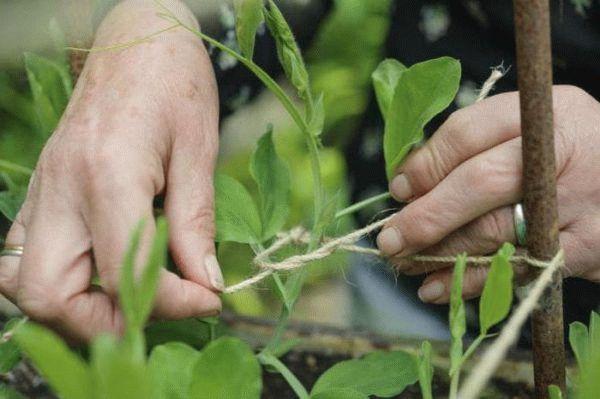 Как подвязывать фасоль