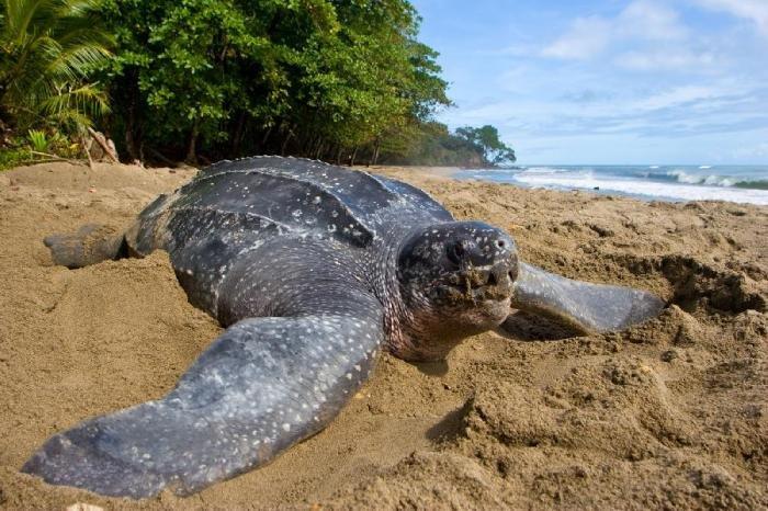 Самая большая в мире черепаха.