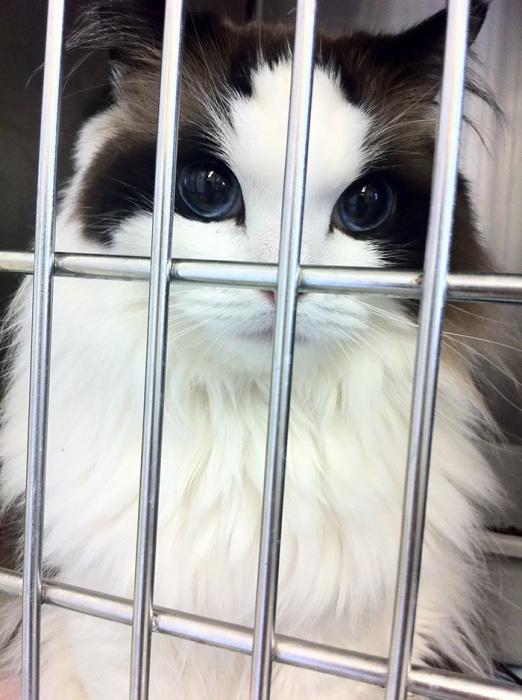Прекрасная кошка породы рэгдолл.