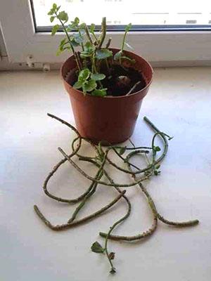 Обрезка старого растения поможет продолжить ему жизнь