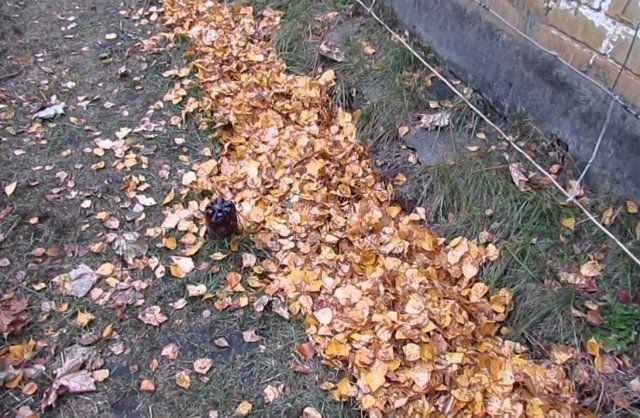 Как укрыть виноград листвой