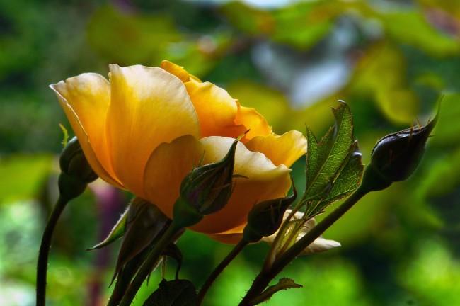 Соцветия Graham Thomas включают от 2 до 9 цветков, в каждом из которых по 35 лепестков. Продолжительность цветения одного цветка - до 1 недели, соцветия — 8-10 дней. Характерный сильный аромат чайных роз. Цветение - непрерывное. Сорт имеет высокую устойчивость к заболеваниям и морозостоек