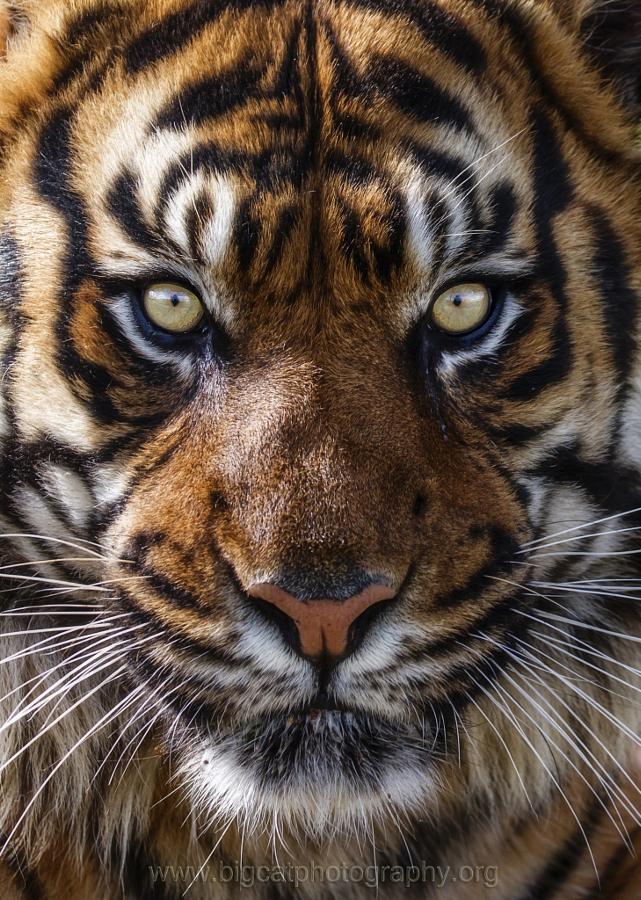 Тигры – дикий животный магнетизм в 30 потрясающих фотографиях 21