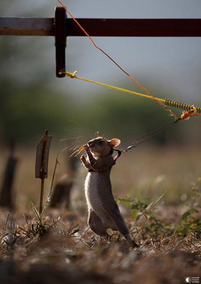мина, интересное, сапер, крысы, природа