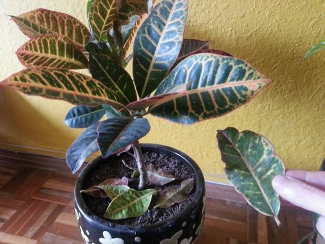 Опадают листья на комнатном растении