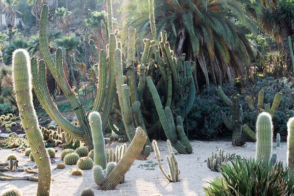 пустынные кактусы