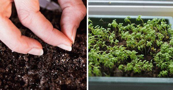 Как правильно выращивать петрушку в открытом грунте?