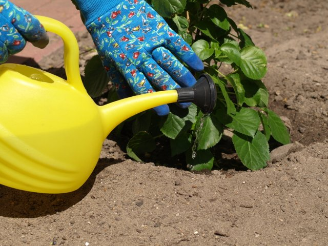 Gardener using a yellow watering can to water the plants