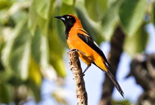 питохуй - смешное название птицы