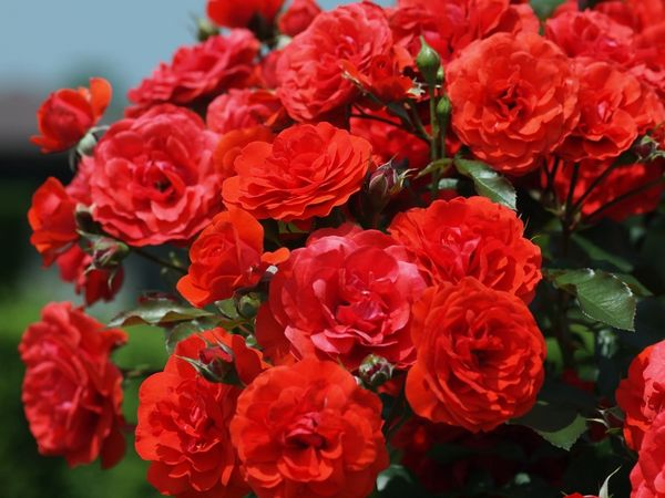 Размножение и прививка роз для начинающих. Как привить розы весной и осенью в домашних условиях и саду?