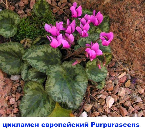 цикламен европейский Purpurascens