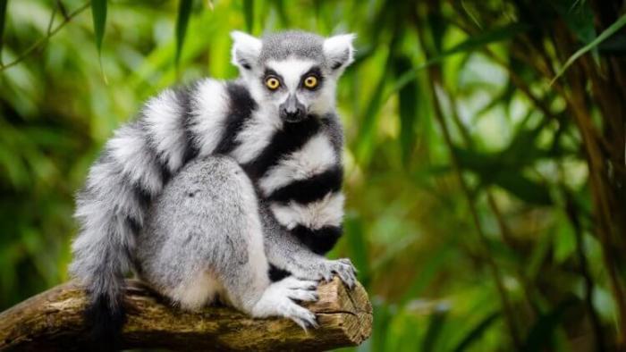 Мадагаскарский лемур — символ острова Мадагаскар