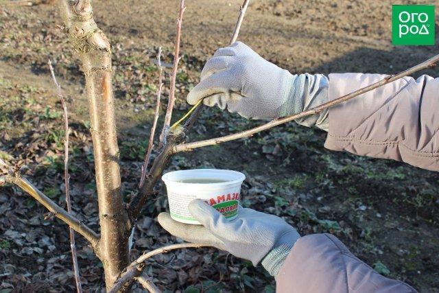 Обработка среза на яблоне