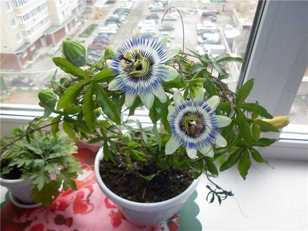 Как выращивать пассифлору в домашних условиях?