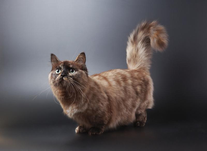 обоев порода кошек с короткими лапками фото разница качестве материалов
