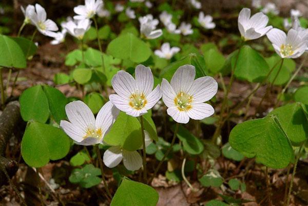 Цветки кислицы обыкновенной