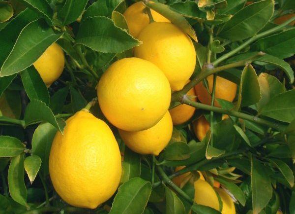 Лимон Мейера стойко переносит прохладу