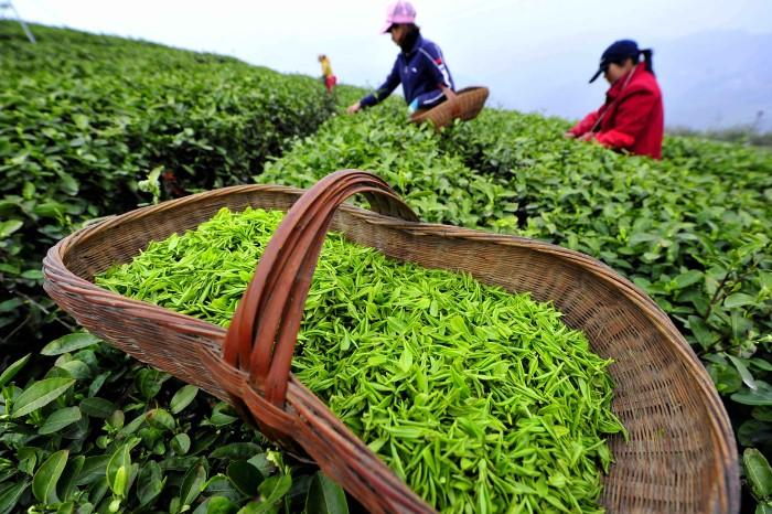 Польза и вред зеленого чая для организма человека. Что содержит?