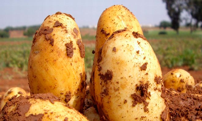 Лучшие белорусские сорта картофеля: посадка и уход