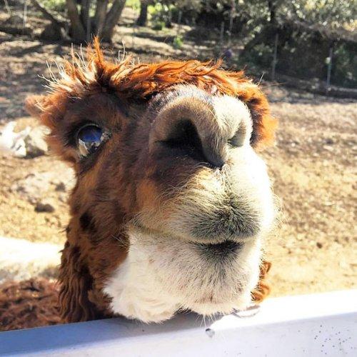 Фотографии альпак, которые вызовут вашу улыбку (28 фото)