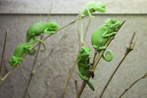 Детёныши хамелеонов, которые вас просто очаруют (26 фото)