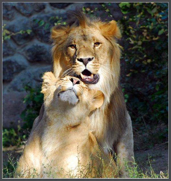 Он и она львы картинки страсть