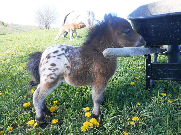 Невероятно очаровательные мини-лошади – 26 фото - 1