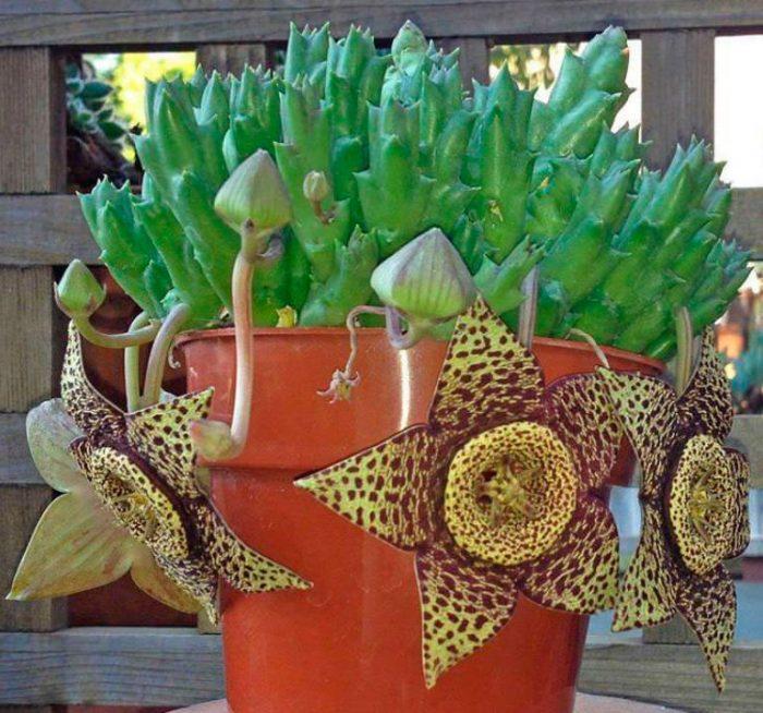 Стапелия пестрая, или варьирующая (Stapelia variegata)
