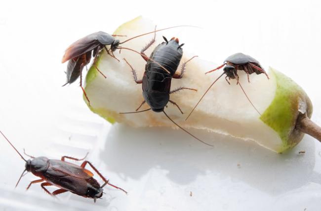 Уничтожение тараканов в квартире должно проводиться комплексно, осознанно и только после анализа причин, по которым эти насекомые в неё проникли