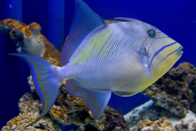 18. Королевский спинорог животный мир, море, природа, путешествия, рыбки