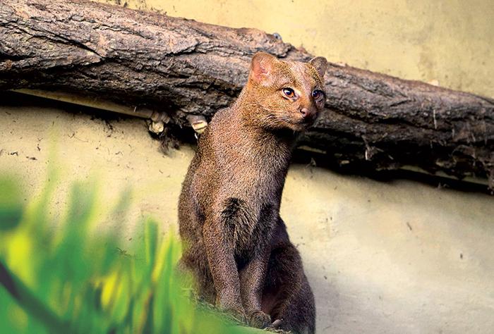 У ягуарунди длинное тело, похожее на тело куницы или ласки.