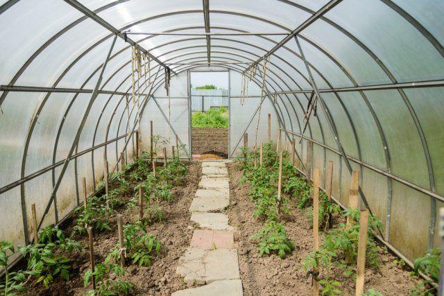 После высадки томатов в теплице важно регулировать температурный режим, а значит, проветривать (особенно в период цветения), не допуская излишнего увлажнения